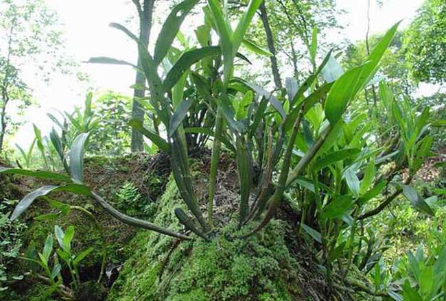 野生石斛生长环境图片
