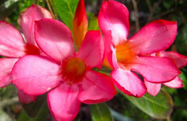 沙漠玫瑰的养殖方法