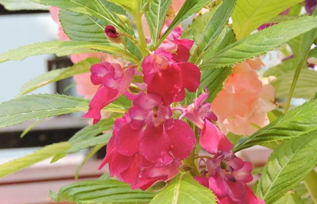 凤仙花的生长过程图解