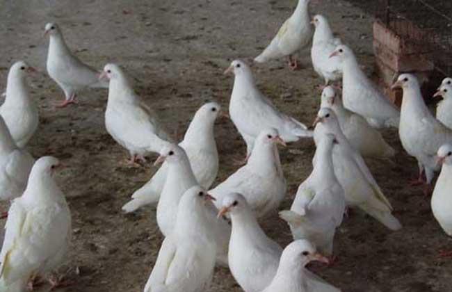 灰鸽、红绛鸽、雨点鸽、黑鸽、白鸽、花狸虎(杂毛)鸽、麒麟花鸽、图片