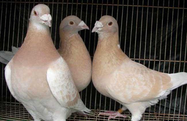鸽子养殖成本和利润图片