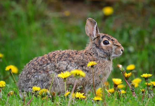 野兔的养殖前景
