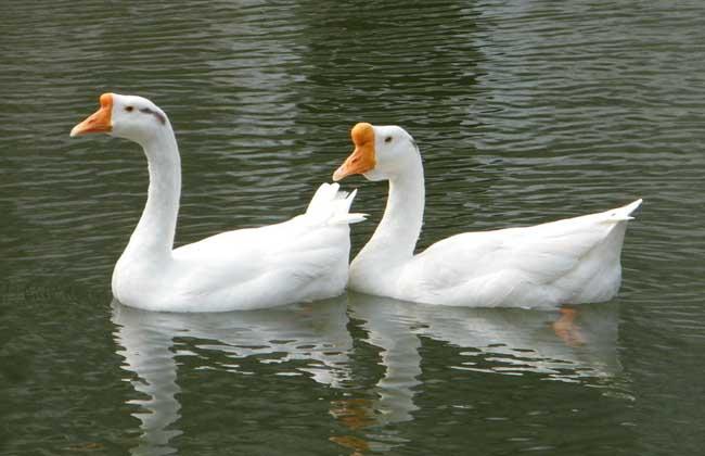怎样区分公鹅和母鹅图片