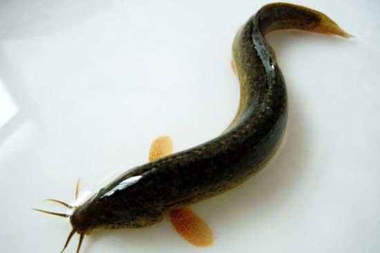 泥鳅人工育苗技术_泥鳅怎么繁殖技术_泥鳅繁育养殖技术