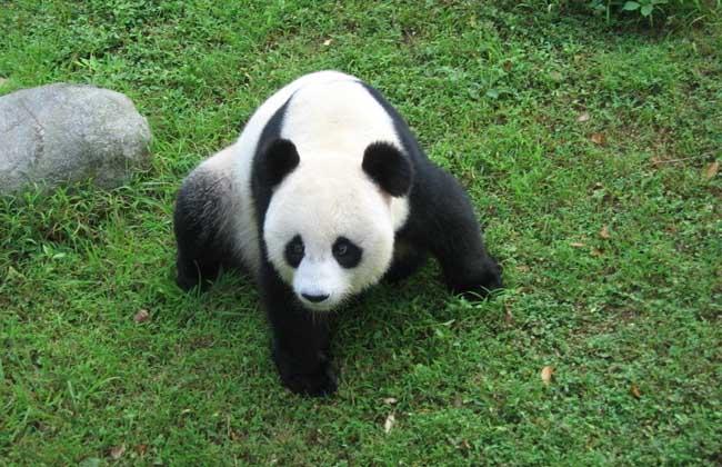食物习性 大熊猫为杂食性动物,但大熊猫最初是吃肉的,也具有食肉动物吃肉的潜力,但很少捕食动物或动物的尸体,这并不是它不喜欢吃肉,而是缺少机会。因为在大熊猫的分布区里,大型的食肉兽很少,没有多少残尸剩首供它食用。如果自己经常去捕捉鼠类等小动物,所得到的营养却常常不足以抵偿消耗掉的能量。因此,大熊猫只能偶尔吃到一点肉食,大部分时间则按部就班地依靠竹子维持生命,成为一辈子循规蹈距、依竹而生的动物。