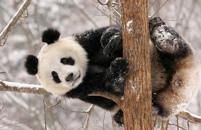 性格特点 大熊猫性情通常情况下总是十分温顺,初次见人,常用前掌蒙面,或把头低下,不露真容,很少主动地攻击其他动物或人,在野外偶然相遇时,总是采用回避的方式。但一但当上了妈妈,其小宝贝就是神圣不可侵犯的,即便是关怀看望,也会惹怒母亲大动肝火,张牙舞爪,动手动脚。有时它们还爱作一些修饰及其他一些求适活动。可以象猫一样把身体伸直,前是伸开,后半身抬起,让身躯灵活舒展,或睡醒以后,前肢直伸打哈欠。如果被水沾湿或过河涉水后,也可以象狗一样把身上的水抖掉。