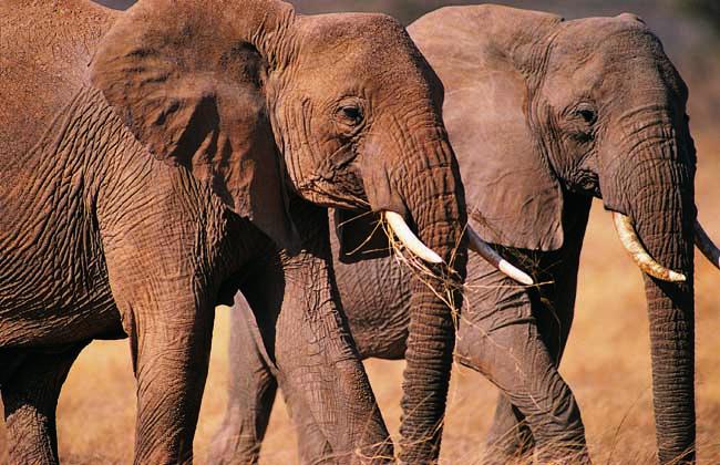 大象是哺乳动物中最长寿的动物