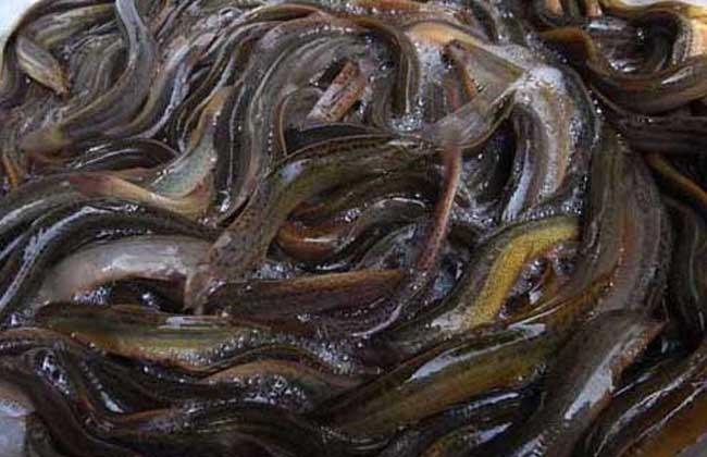 泥鳅,泥鳅苗,泥鳅饲料,泥鳅养殖技术图片