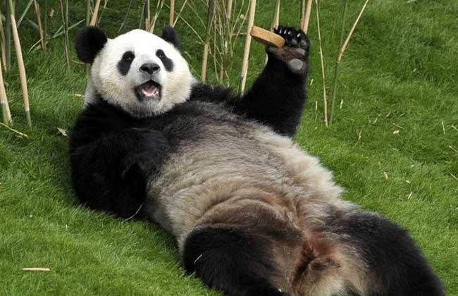 大熊猫和小熊猫的区别