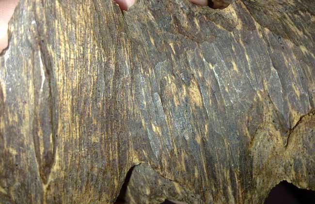 沉香木是一种木材,也是沉香的宿主