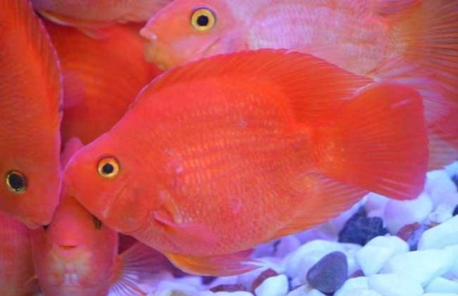 金刚鹦鹉鱼和普通鹦鹉鱼的区别图片