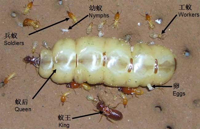 白蚁的危害有哪些图片