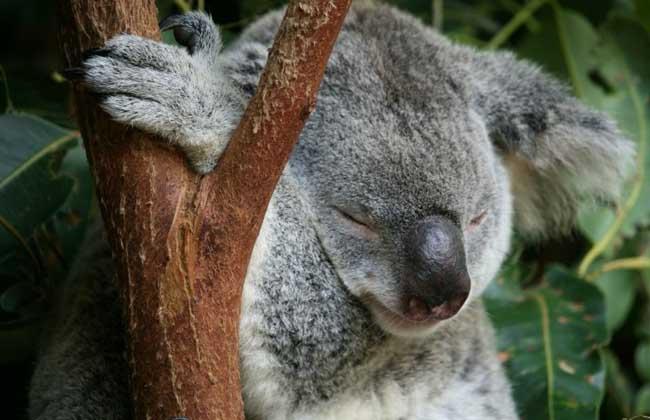 考拉:考拉为动物界,脊索动物门