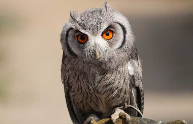 猫头鹰的保护级别 猫头鹰属国家二级保护动物。鸮形目的物种全部列入《世界自然保护联盟》(IUCN),没有人工饲养品种。禁止出售、收购国家重点保护野生动物或者其产品,因科学研究、驯养繁殖、展览等特殊情况,需要出售、收购、利用国家一级保护野生动物或者其产品的,必须经国务院野生动物行政主管部门或者其授权的单位批准。需要出售、收购、利用国家二级保护野生动物或者其产品的,必须经省、自治区、直辖市政府野生动物行政主管部门或者其授权的单位批准。