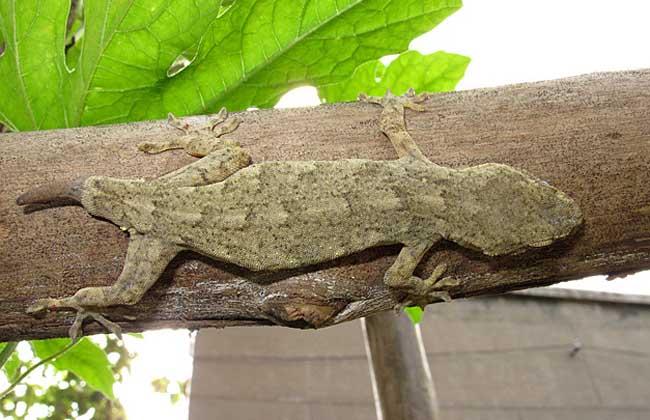 为脊索动物门爬行纲有鳞目蜥蜴亚目冷血爬虫类动物