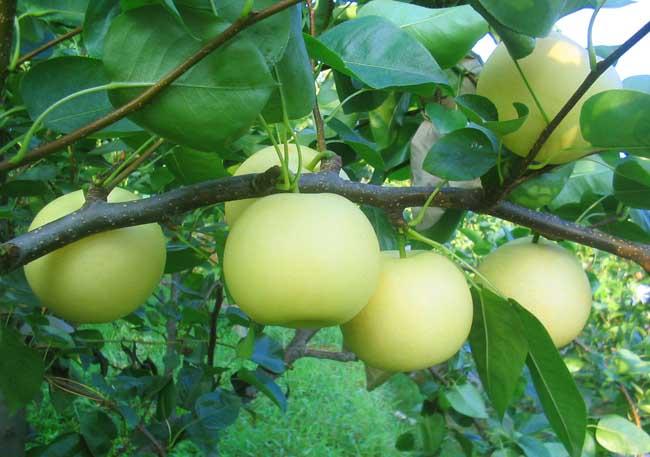 梨树的病虫害防治措施