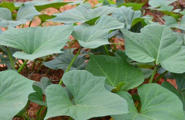 山芋的生长过程简笔画-红薯叶怎么做好吃