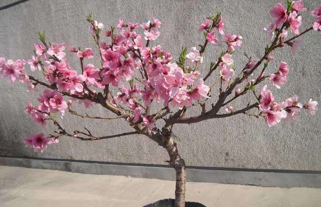 桃树的整形修剪 1、整形:盆栽桃树整形可以根据要求随意整治,如开心形,曲干形均可。对主枝采用拉枝方法调整枝条方向、角度,通过多次摘心,促发侧枝,用弯枝、圈枝、扭枝等技术将枝条培育成圆形、斜干形、垂枝形、扇形等不同形状,增加美感,丰满树冠。 2、疏枝:桃树萌芽力高,成枝力强,生长量大。可根据壮树枝繁多疏,弱树枝稀少疏的原则进行,将病虫枝、密枝和徒长枝疏除。