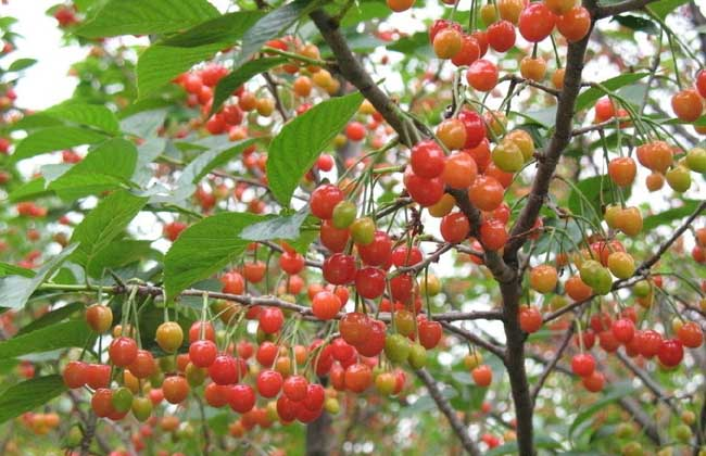 樱桃树苗种植技术图片