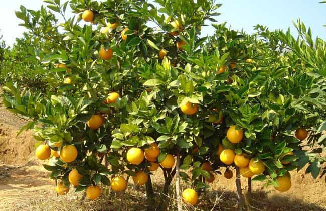 【危害症状】柑橘炭疽病常造成柑橘树大量落叶