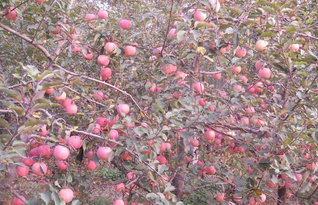 苹果树的开心形修剪 1、苹果树结构:树高2.5~3.0米,干高1.0~1.5米,保留4~6个较大型的永久性主枝,角度为基角75°、腰角85°、稍角80°,插空排列,主枝无限延伸,主枝上均匀排布大、中、小型结果枝组,枝组呈下垂状,主要应用于乔化和半矮化果树。 2、幼龄树修剪:幼龄树(1~7年)的修剪要点为整好树形、促进树势、扩大树冠,为早果丰产奠定基础。 栽后饱满芽处定干,对中央领导干及主枝延长枝于饱满芽处短截,促发旺枝。其余枝条缓放不剪,主干上1.