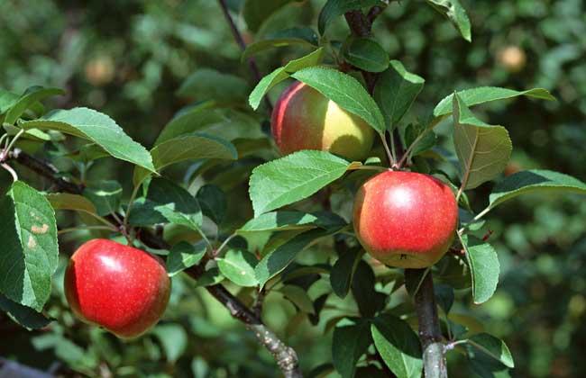 苹果树腐烂病防治技术