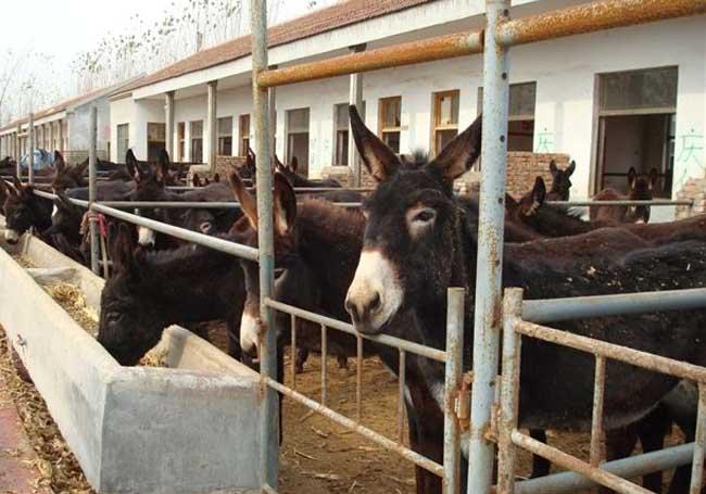 肉驴养殖技术