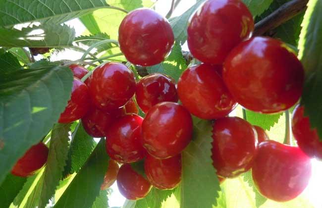 樱桃树修剪技术图片