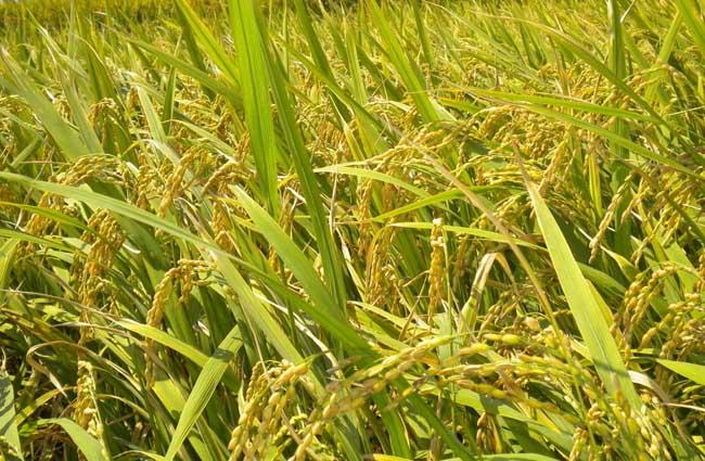 水稻细胞亚显微结构示意图