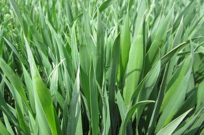 造成小麦根腐病的主要原因 小麦多年连作,土壤有机质偏小,加之不利的天气影响;或由于栽种作物的地方培土过高,两侧开沟施肥或除草时,造成根系的损伤;或由于雨水、灌溉时,水量过大,排水不及时;或光照不足,低温高湿,土壤粘性过大,土壤结块,通风不好;还有就是当跟系受到伤害断裂的时候,也是最容易受到病菌侵入的。雨水季节多发根腐病。