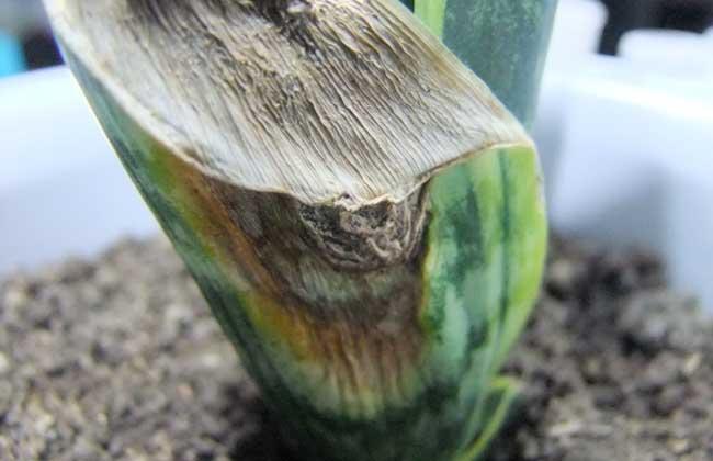 虎皮兰叶子变软下垂图片
