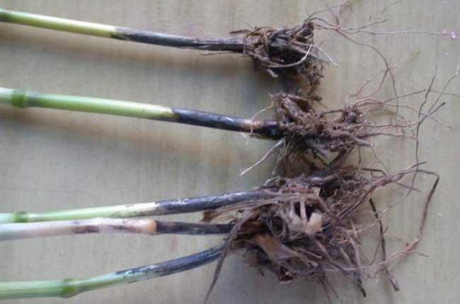 小麦根腐病的特点是 小麦根腐病是由真菌半知菌亚门腐皮镰孢霉菌,英文名称Fusariumsolani(Mart.)App.etWollenw,引起根腐病的罪魁祸首。光照不足、土壤粘性大/水量大、不通风,根部受损伤等都是造成病菌侵入的主要原因。病菌侵染根部,先在芽鞘、幼叶、根冠、根颈和地下茎处形成褐色至黑色病斑,逐渐扩大并使之腐烂,从而造成死苗或死株。发病后根部由浅褐色逐渐变为深褐色。病菌残留在土壤中过冬,翌年从以上原因中进入作物中,并通过灌溉或下雨进行传播。