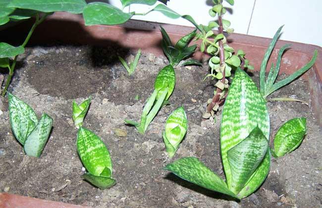 虎皮兰的叶子变软了怎么办图片