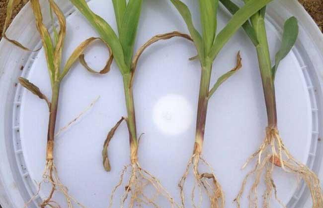 小麦根尖的显微结构