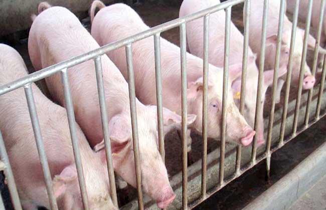 澳门银河官网:男子家中猪不吃食杀完后在猪肚子