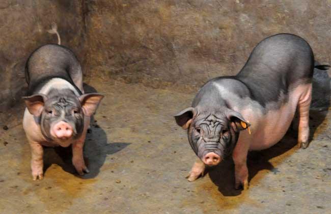 马铃薯产地:猪打疫苗后应