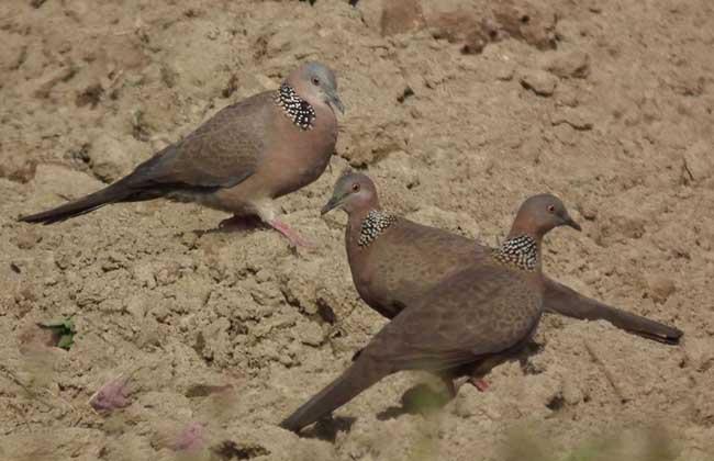 斑鸠是保护动物吗