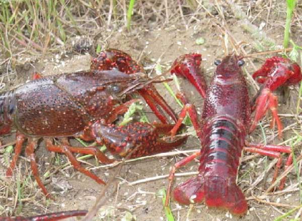 小龙虾的来历是什么?
