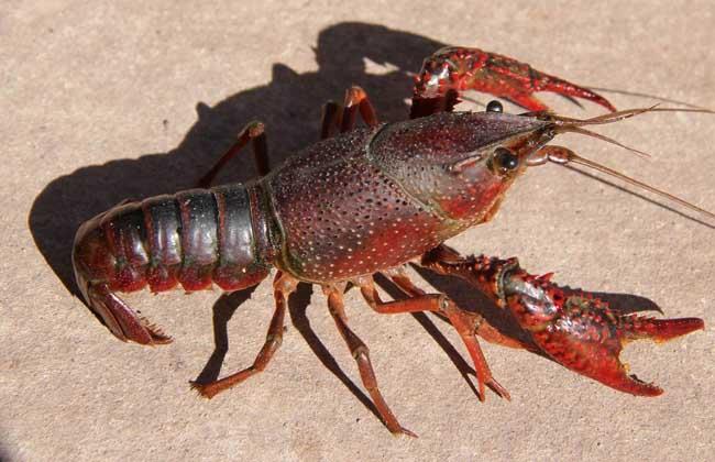 小龙虾的生活习性