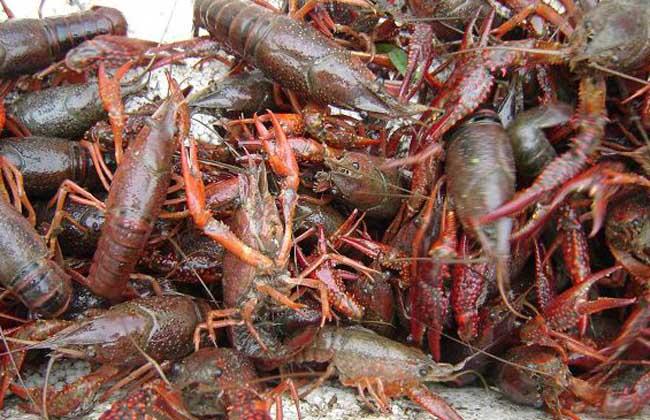 小龙虾吃什么食物