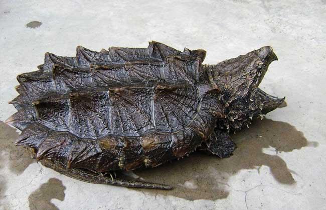 鳄龟市场价格_鳄龟怎么养_鳄龟养殖技术
