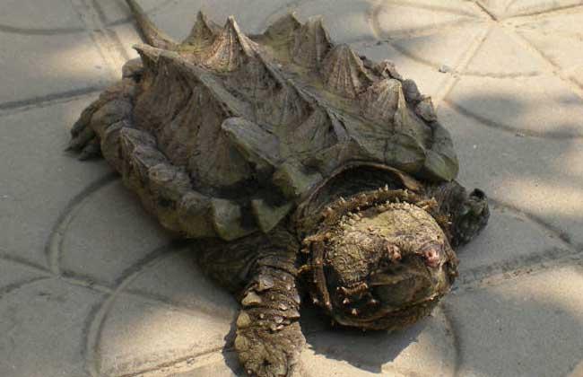 致富经养殖鳄鱼龟_鳄龟市场价格_鳄龟怎么养_鳄龟养殖技术 - 三农致富经
