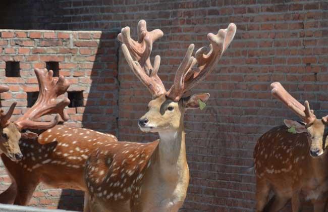 梅花鹿是保护动物吗?