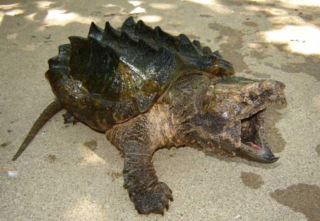鳄龟的市场价格