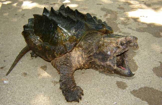 鳄鱼龟的天敌有哪些?