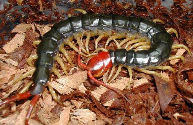 蜈蚣是肉食性动物,为蜈蚣目蜈蚣科陆生节肢动物的统