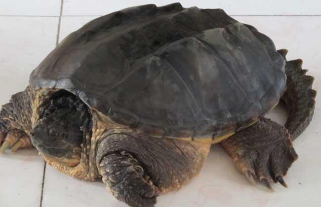鳄鱼龟养殖技术视频