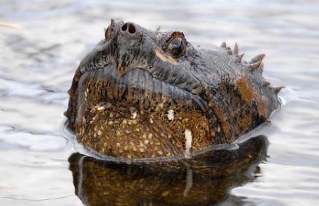 鳄鱼龟的营养价值