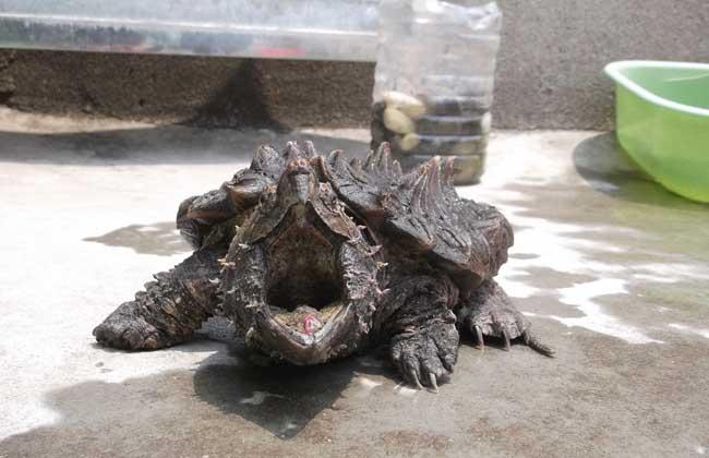 鳄鱼龟高效人工养殖技术