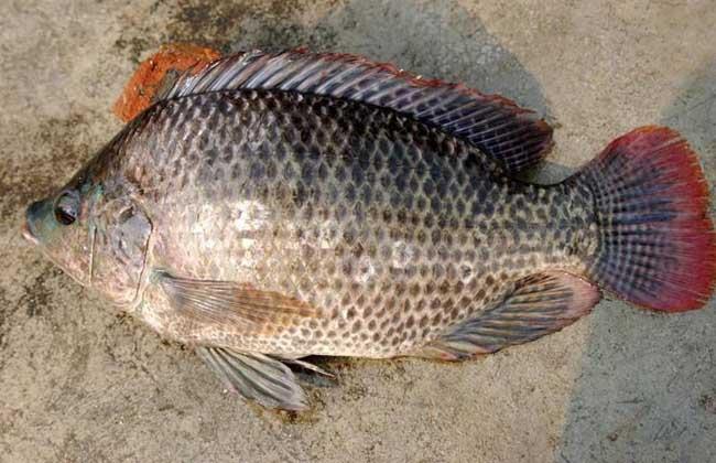 钓罗非鱼用什么饵料